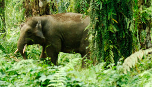 Pygmy elephant in oil palm plantation