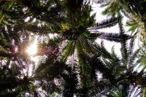 palm-trees-absorbs-carbon