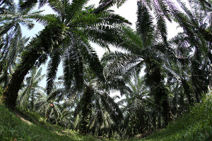 palm-oil-tree