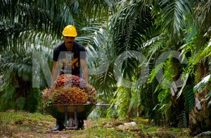 tpp-Labour-Palm-oil-2015