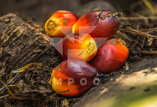 palm-oil-india